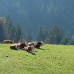 Kühe-Tirol-Alm-Alpbach-Tierleid-Tiertransport